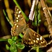 Speckled Wood by DevineBirder