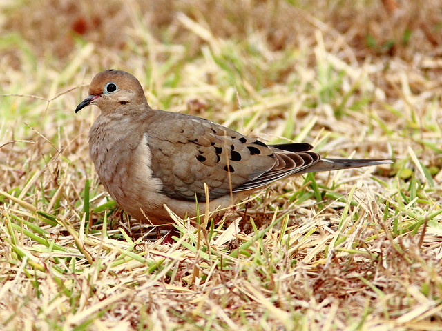 Mourning Dove 20120127