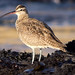 Whimbrel by Fred Hochstaedter