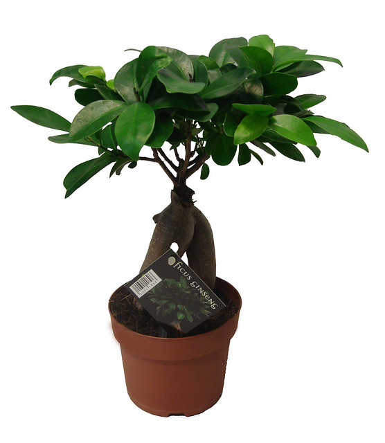 ficus ginseng bonsai tree flickr photo sharing. Black Bedroom Furniture Sets. Home Design Ideas