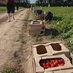 Ягода в поле пакуется в товарные ящики