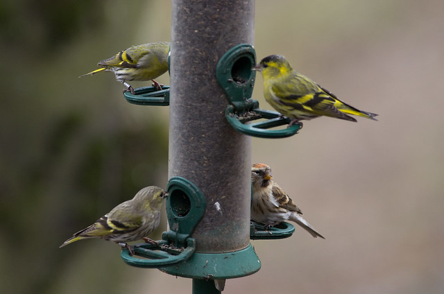 redpoll and siskins on feeders