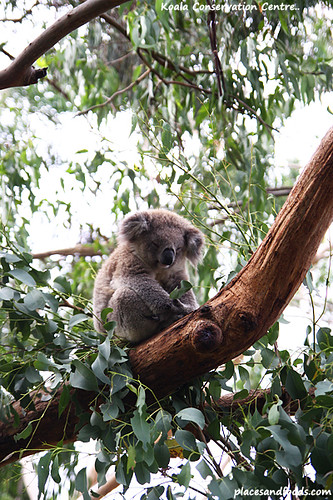 koala conservation centre6