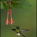 Booted Racket-Tail, Ocreatus underwoodii
