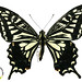 Papilio xuthus - Photo (c) Smithsonian National Museum of Natural History, some rights reserved (CC BY-NC)