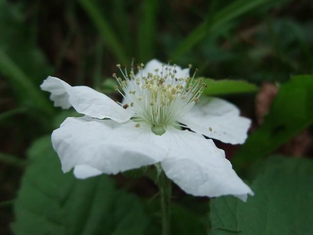 Rubus idaeus - Framboisier