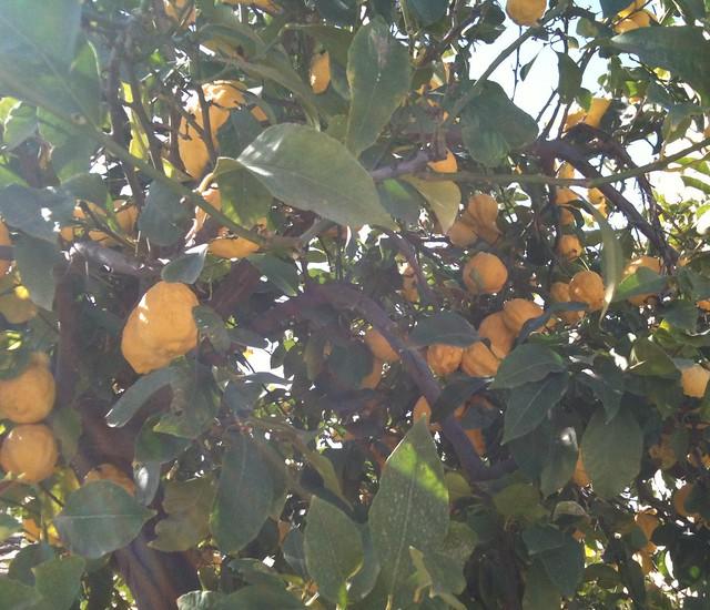 Still lemon season