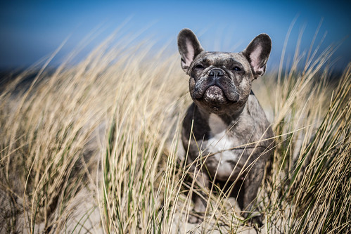 Ilonka the french bulldog