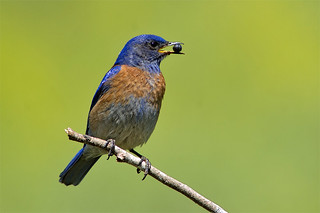 Western Bluebird with Roly Poly