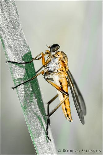 Diptera Asilidae