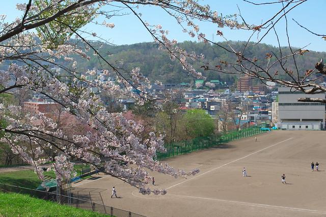 20160508小樽公園の桜_01