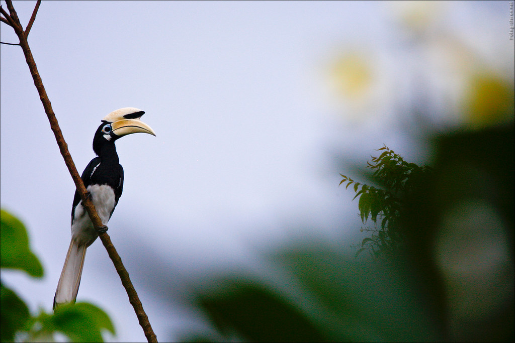 Hornbill bird at the Melapi Lodge (Kinabatangan river)