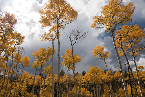 Aspens on fire