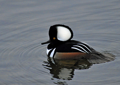 Hooded Merganser 1 by Natures Caretaker