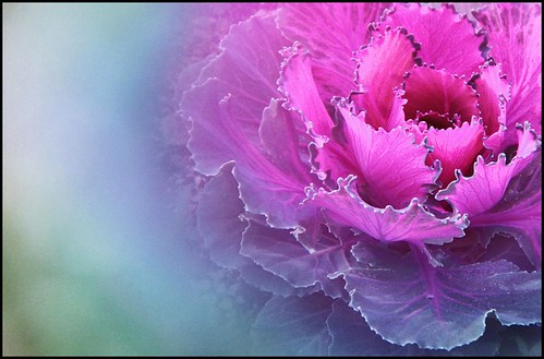 葉牡丹(Ornamental cabbage) by T.takako