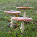 Family of Toadstools