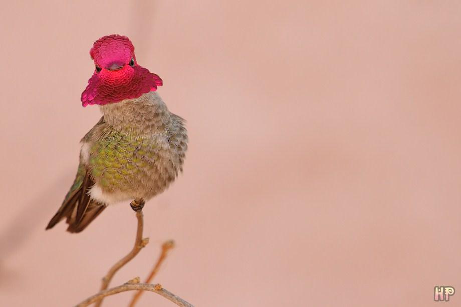Anna's Hummingbird 120411-2