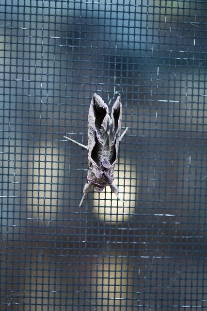 Olivaceous Noctuid Moth