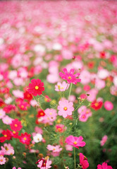 blossom(0.0), grass(0.0), annual plant(1.0), flower(1.0), field(1.0), garden cosmos(1.0), red(1.0), plant(1.0), flora(1.0), cosmos(1.0), pink(1.0), petal(1.0),