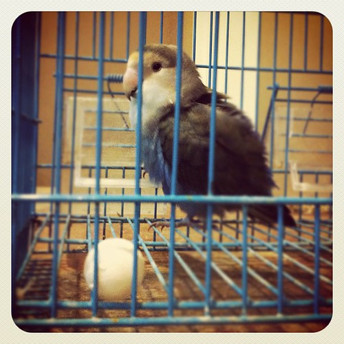 "12.10.11 Ogie bird is a girl al along! After 2.5 years ""he"" laid an egg!"