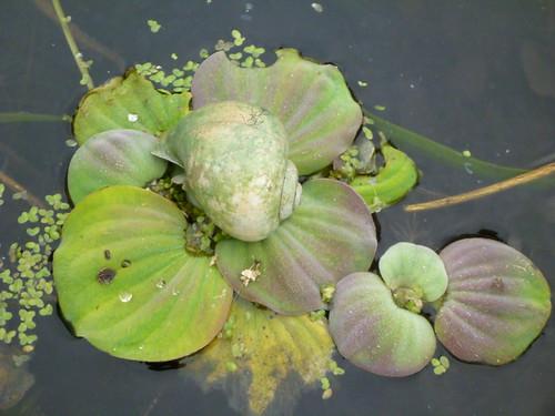 Apple Snail on the Wacissa River
