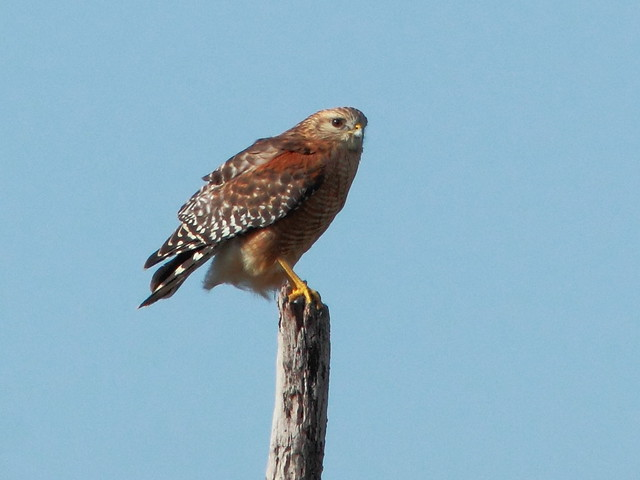 Red-shouldered Hawk 2-20111213