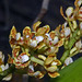 Makunda Flowers-80 - Acampe ochracea