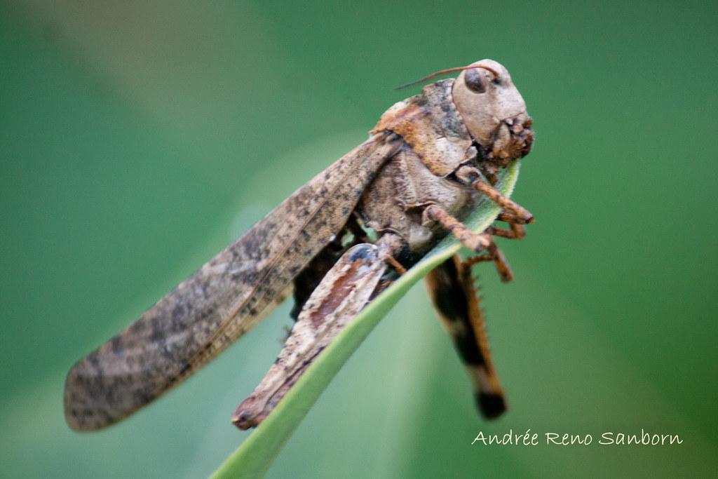 Dead Carolina Grasshopper-3.jpg