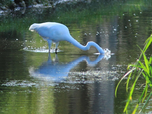 Great Egret 2-20111222