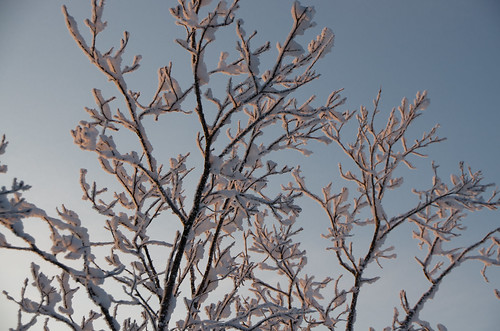 Frosted Branches by Andrea Pokrzywinski