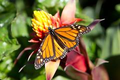 1111-Monarchs-10