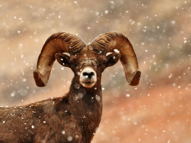 Musmón - Parque nacional Zion - Estados Unidos
