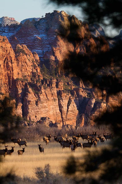 Elk on Kolob