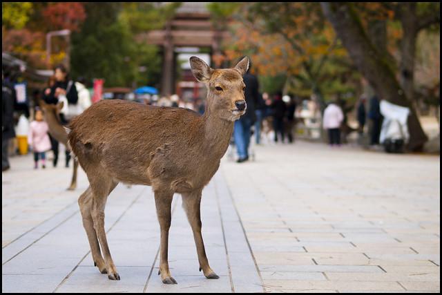 Shika near Nandaimon