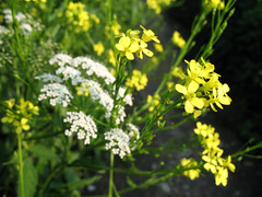 shrub, vegetable, flower, yellow, cow parsley, mustard plant, common rue, plant, mustard, subshrub, herb, anthriscus, wildflower, flora, rue, produce, rapeseed,