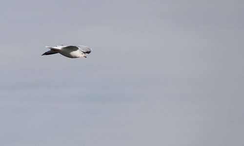 Flying Sea Gull by shoemap