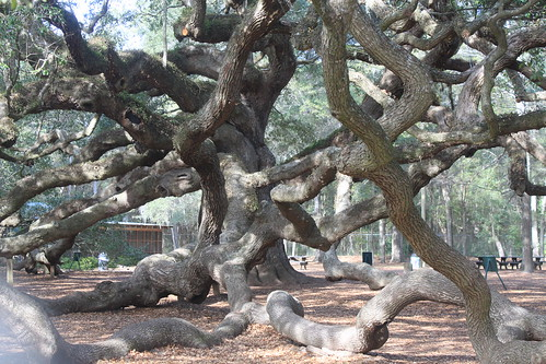 Great Oak on James Island by shoemap