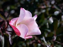 日, 2010-11-07 14:03 - New York Botanical Garden (Bronx) ブロンクスの NY植物園 薔薇