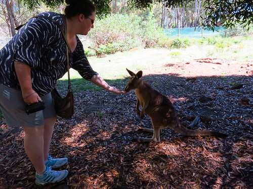 feeding wallaby