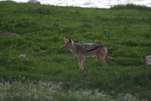 Side-Striped Jackal - Etosha