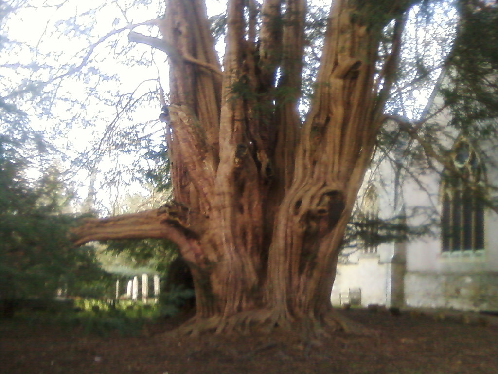 The Tandridge Yew Woldingham to Oxted