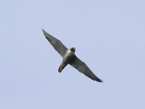 遊隼。台灣猛禽研究會林文宏攝。