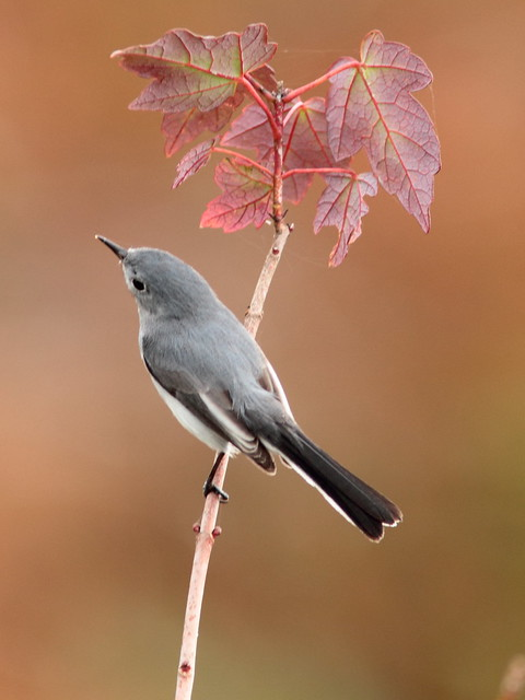 Blue-gray Gnatcatcher on maple 2-20120113