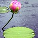 A Lotus Blossom in the Soft Summer Rain by Eddie C3