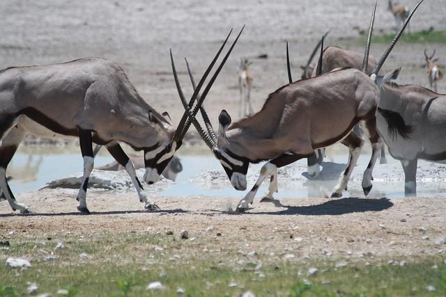 Órices luchando en el Parque Nacional Etosha, Namibia