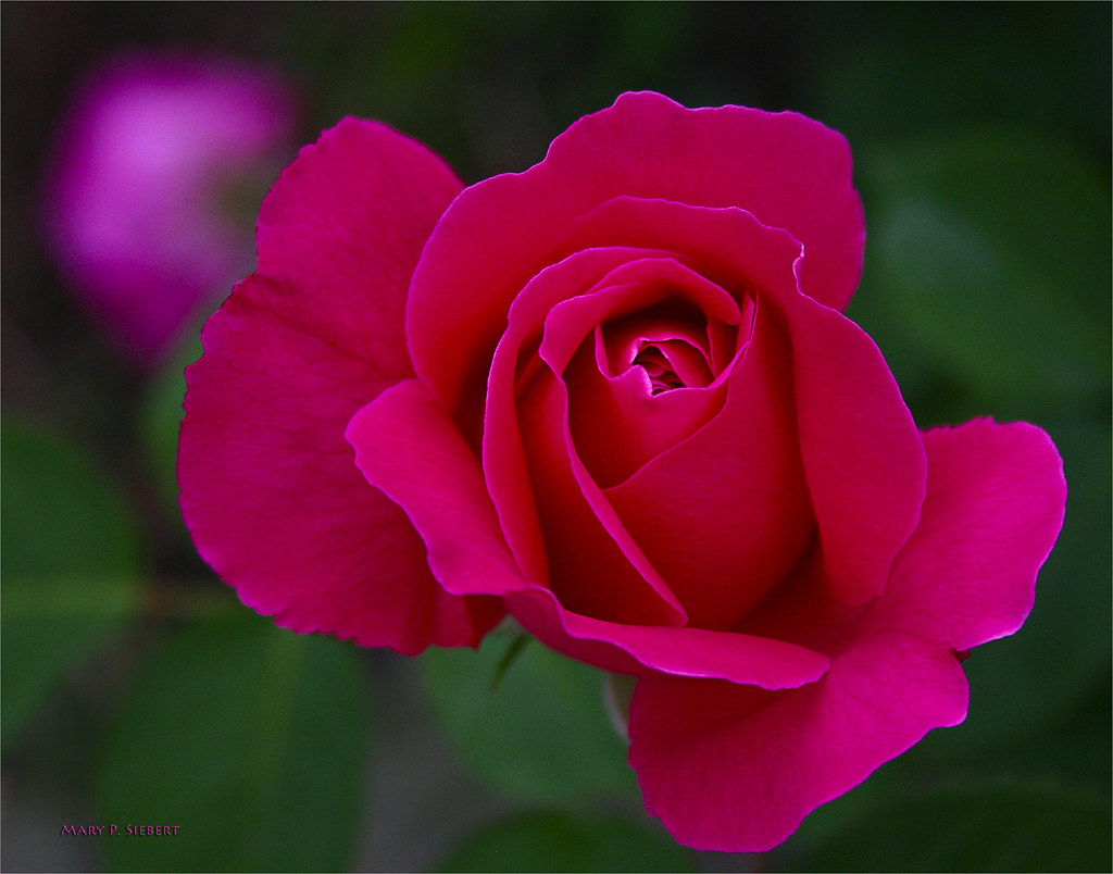 The poetic beauty of roses and flowersinspirational quotes and the poetic beauty of roses and flowersinspirational quotes and pictures izmirmasajfo Images