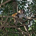 Rhesus macaque (Macaca mulatta)