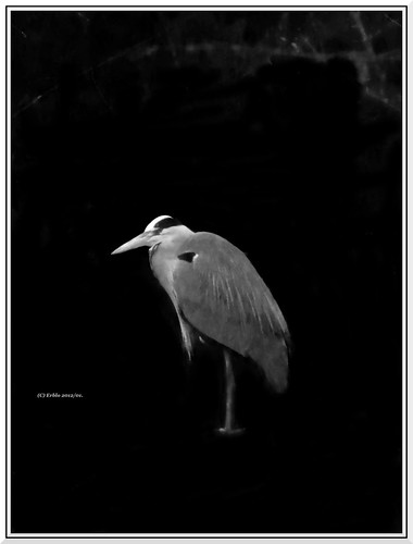 Blue Heron in monochrome