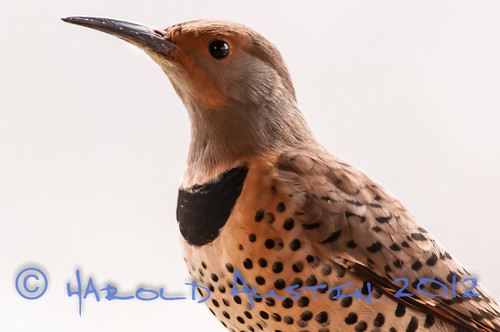 Northeren Flicker (Colaptes auratus ) female