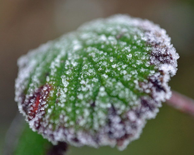 Bramble leaf this morning